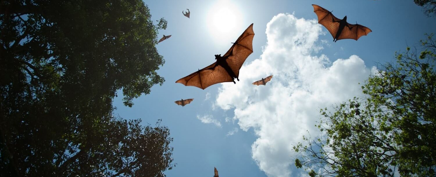 Bats in flight at the University of Florida's Bat Houses