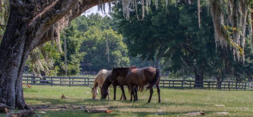 Three horse grazing at Dudley Farm with a live oak and Spanish moss in the foreground