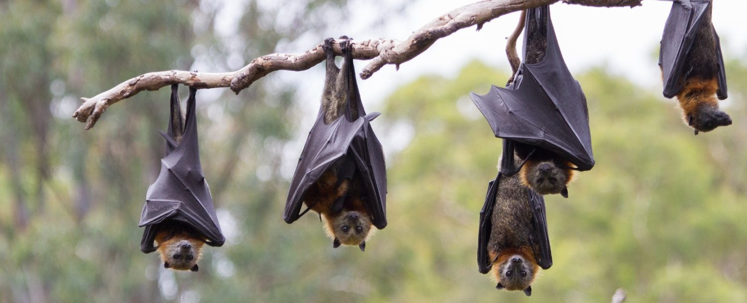 flying foxes hanging at lubee bat conservancy