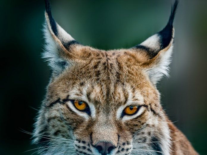 Siberian lynx head shot at the carson springs wildlife conservation foundation