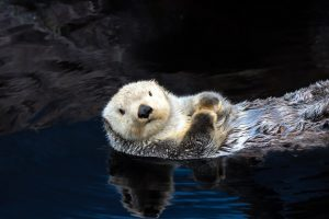Sea otter floating in the water