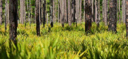 Green and yellow hues in Saw Palmetto leaves with dark pine tree trunks poking up. Focus is on distant pine trees